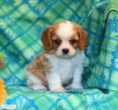 Cavalier King Charles Spaniel Puppy for Sale #cavalierkingcharlesspanielforsale