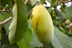 Do you live in North American?  Love eating bananas, but don't like how many miles they have to travel to get to your shopping cart?  Plant a paw-paw tree!  Paw paws are called America's forgotten fruit and can replace bananas in modern-day recipes!
