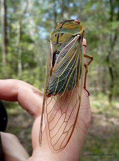 cicada.png (298×401)