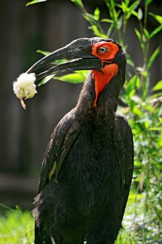 A Southern Ground Hornbill (African bird) with a small chicken in its beak, like it was proudly displaying it.   Picture taken in the zoo of Amnéville in France. | by Tambako the Jaguar