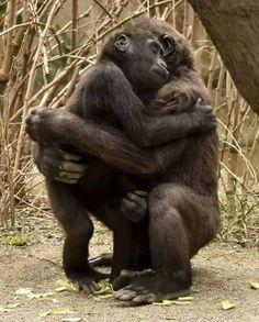 Primates, Mammals, Gorilla Gorilla, Nature Animals, Animals And Pets, Strange Animals, Jungle Animals, Wild Animals, Beautiful Creatures