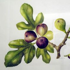 Kyle J. Norton Health Tips for Better Living and Living Health: #Healthy #Foods - Fruits - Common Fig or Fig (Ficus carica)