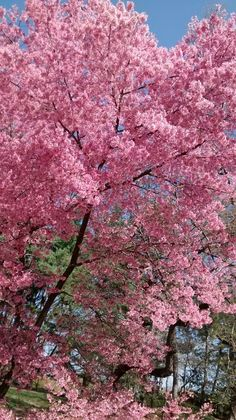 Sakura flowers in Central Park by Nomi Wei Trees Beautiful, Flora And Fauna, Central Park, Vivid Colors, Pretty, Flowers, Plants, Pink, Plant