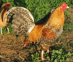 Breed Savers: Standard Old English Game Fowl Beautiful Chickens, Beautiful Birds, Chicken Games, Game Fowl, American Games, Modern Games, English Games, Game Birds, Chicken Breeds