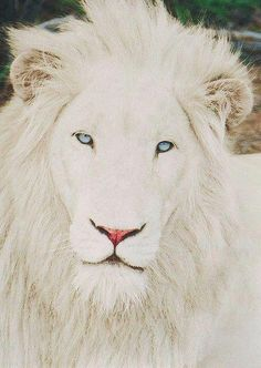 Rare, albino lion