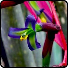 Billbergia 'Fantasy Island' floral detail