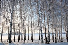 depositphotos_1113235-stock-photo-winter-birch-trees-alley.jpg (1023×682)