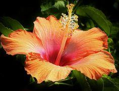 Orange Hibiscus by Bruce Bley on Fine Art America ~ prints starting @ $22