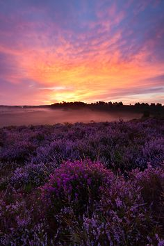 Heather on Fire, New Forest, Hampshire, UK, Geoff Kell Beautiful Places, Beautiful Pictures, Hampshire England, British Countryside, New Forest, Beautiful Landscapes, Wild Flowers, National Parks, Scenery