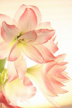 Amaryllis Glow, by beegardener, via Flickr
