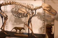 Thylacine Skeleton | Flickr - Photo Sharing!