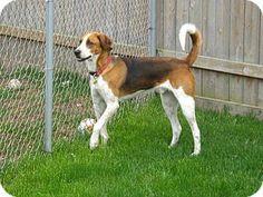 West Bend, WI - Treeing Walker Coonhound Mix. Meet Sam, a dog for adoption. http://www.adoptapet.com/pet/10204618-west-bend-wisconsin-treeing-walker-coonhound-mix