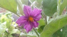 Prachtige paarse aubergine bloem