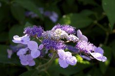 """Hydrangea villosa"" nel giardino di Barbanera. #Hydrangea #Ortensie #Giardino #Garden #Gardening"