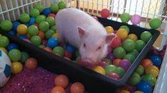 Mini Pig Rooting Box                                                                                                                                                                                 More