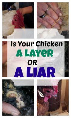 is your chicken a layer or a liar? How to tell if your hen is still laying eggs.