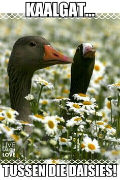 Life is a walk in a daisy field. Black Swans in the Daisy Flowers by Massimo Scorza. Love Birds, Beautiful Birds, Animals Beautiful, Farm Animals, Cute Animals, Daisy Field, Mundo Animal, Fauna, Bird Watching