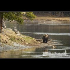 Yellowstone Grizzly Bear on the Yellowstone River  http://RobsWildlife.com. #adventure #nationalpark #wyoming #wyo #foreverwest #visitwyoming #bear #bears #grizzly #grizzlybear #grizz #yellowstone #yellowstonenationalpark #wildlife #wildlife #wild #wildlifephotography