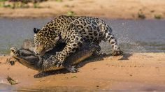 Jaguar hunting down a crocodil.