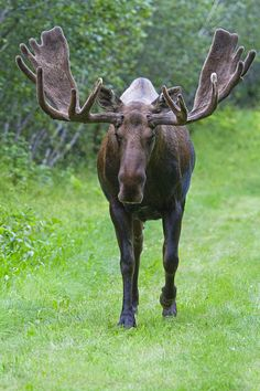 Bull moose in velvet by AlaskaFreezeFrame