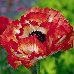 Pigalle Oriental Poppy for a tattoo?