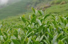 健康一級棒: 茶葉的功效驚人 愛喝茶的人有福了!!!把健康分享給大家吧!