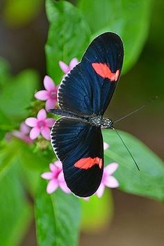 Red flag winged Heliconius Butterfly