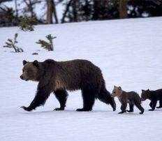 """""""Grizzly Bear Attacks: How wildlife investigators found a killer grizzly in Yellowstone.""""    the previous caption is absurd to me...a KILLER grizzly?? um...it's a fucking bear! of course it's a killer! just leave it alone, let it do it's thing, you'll be fine and the bear will be happy."""