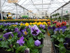 Purple, red and yellow Pansies in the green house at Stauffers of Kissel Hill Garden Centers.  http://www.skh.com/home-garden/