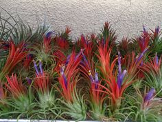 I want to try an air plant for my office.  No dirt is required and minimal watering.