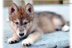 Meet Male a cute Wolf Hybrid puppy for sale for $700. WOLF CUB