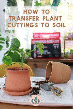 Clever Bloom-Learn how to transfer your cuttings to soil. It's super easy, but I have a few tips that will help with your plants success! House Plants Decor, Plant Decor, China Doll Plant, Plant Crafts, Growing Greens, Plant Cuttings, Mini Greenhouse, Square Foot Gardening, Potting Soil
