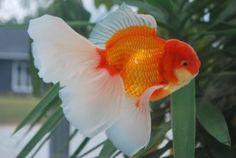 Goldfish Gallery displaying beautiful Show Quality Goldfish bred by - Zhao's Fancies Comet Goldfish, Fantail Goldfish, Goldfish Tank, Nano Aquarium, Aquarium Design, Aquarium Fish, Colorful Fish, Tropical Fish, Goldfish Breeding