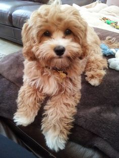 Cavapoo (also known as Cavadoodle or Cavoodle) Cute Dogs And Puppies, I Love Dogs, Pet Dogs, Dog Cat, Doggies, Cavapoo Puppies, Maltipoo, Poodle Puppies, Puppys