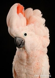 moluccan cockatoo | parrot encyclopedia | World Parrot Trust                                                                                                                                                                                 More