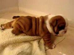 puppy bulldog @car