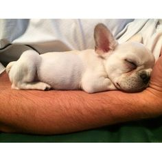 Oh my cuteness. Cute Dogs And Puppies, I Love Dogs, Doggies, Baby French Bulldog, French Bulldogs, Happy Animals, Cute Animals, Dog Pictures, Animal Pictures