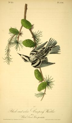 The birds of America - Natural history art - Biodiversity Heritage Library