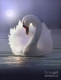 ♥Swan is my serene spiritual bird You are so beautiful and true to your partner for life . the enjoyment of companionship you and I share . the love and passion for each other is publicly known ♥mari Swan Love, Beautiful Swan, Beautiful Birds, Swan Pictures, Night Pictures, Swan Painting, Mute Swan, Animal Paintings, Bird Art