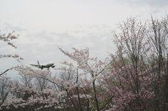 74:「成田空港に着陸しようとしている飛行機と桜が見れる公園です。」@成田桜の山