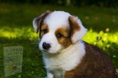 Baby Corgi, Corgi Dog, Dog Cat, Dogs Online, Puppy Love, Cat Lovers, Pets, Fun, Animals