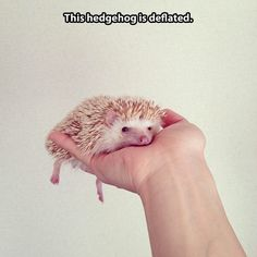Tired hedgehog // funny pictures - funny photos - funny images - funny pics - funny quotes - #lol #humor #funnypictures
