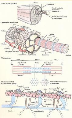 Buena lámina para usar en Histología y Fisiología Animal sobre el músculo esquelético.