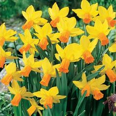 """Narcissus 'Jetfire' (Cyclamineus Daffodil) - Cyclamineus bring a different perspective to the garden with their short """"necks"""" that present a single flower at an acute angle to the stem."""