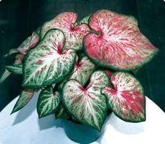 Planta de hojas sagitadas con variados dibujos de forma diversa y matices muy atractivos. De las hojas, de unos 50 centímetros de alto, sale un tubérculo de pequeñas dimensiones, secándose en invierno. Plantas de interior