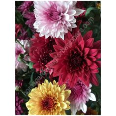 """colorful chrysanthemums also known as """"Mums"""" as shortcut to its long name. Download this beautiful colorful photo for your blogs, wallpapers, wall decors, and other projects from our US$1 Stock photos now! Chrysanthemums, Gardening For Beginners, Different Colors, Home And Garden, Wall Decor, Colorful, Wallpapers, Stock Photos, Plants"""