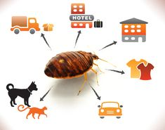 The ways bed bugs spread by CBC Montreal Bed Bugs, Montreal, Scene, Poster, Image, Posters, Billboard