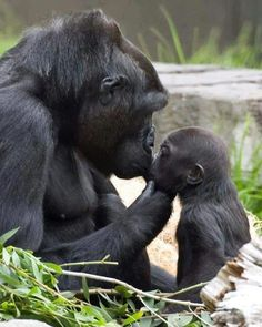 The love between Gorillas is as strong as human live. Probably more so as their lives depend on each other.