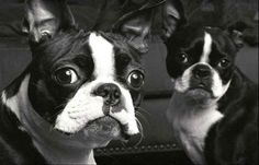 Boston Terriers so cute!