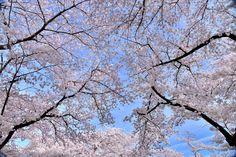 https://flic.kr/p/GssdH2 | SAKURA | Kyoto 関東、関西の主だった公園、植物園は殆ど行っているが、とりわけ私がお気に入りの場所は、何をさておき京都府立植物園(24万ha)なのである。ここは敷地面積こそ新宿御苑、神代植物公園、万博記念自然文化園等には及ばないが、顧客満足度が極めて高い植物園と思う。 大きな満開のサクラの木の下で柔らかな草の上でゆったりと昼寝が出来る。高齢者の方には道府県を選ばずして無料で入園できるよう配慮されている。サクラや紅葉の名所でもあり季節にはライトアップもなされる。珍しい植物も多い。勿論大温室もあり四季折々の花がとても綺麗に管理されているのである。尤も私は京都府立植物園の関係者ではありませんが。。 画像は、昼寝の最中に覆い被さるサクラを撮ったものです。